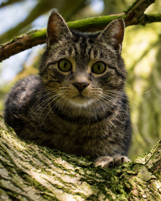 Crazy Cat - Obrázkek zdarma pro iPhone 6 Plus
