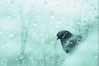 Pigeon In Rain Drops Background for Android, iPhone and iPad