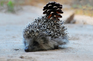 Hedgehog With Pine Cone Wallpaper for Android, iPhone and iPad