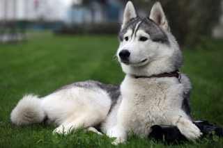 Free Siberian Husky Picture for Android, iPhone and iPad