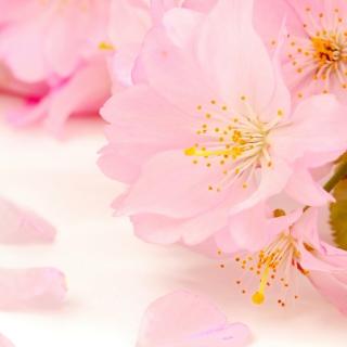 Spring Pink Blossoms - Obrázkek zdarma pro iPad mini 2