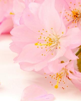 Spring Pink Blossoms - Obrázkek zdarma pro 352x416