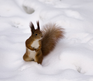 Funny Squirrel On Snow - Obrázkek zdarma pro 128x128