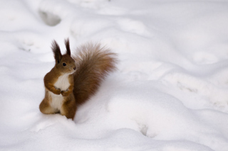 Funny Squirrel On Snow - Obrázkek zdarma pro Widescreen Desktop PC 1920x1080 Full HD