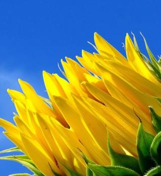 Sunflower And Blue Sky - Obrázkek zdarma pro 320x320