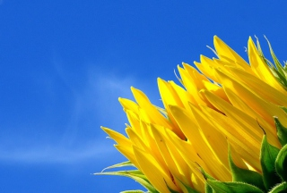 Sunflower And Blue Sky - Obrázkek zdarma pro 1600x1200