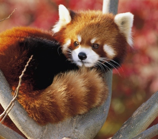 Red Panda Firefox - Obrázkek zdarma pro iPad mini