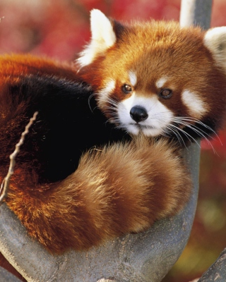 Red Panda Firefox - Obrázkek zdarma pro 320x480