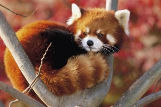 Red Panda Firefox - Obrázkek zdarma pro Motorola DROID 2