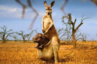 Kangaroo With Hippo - Obrázkek zdarma pro 1600x1200