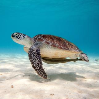 Sea Turtle Reptile - Obrázkek zdarma pro iPad Air