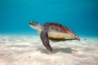 Sea Turtle Reptile Wallpaper for Android, iPhone and iPad