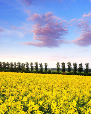 Summer Field with Rape Wallpaper for Nokia Asha 303