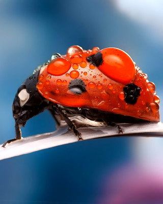 Maro Ladybug and Dews - Obrázkek zdarma pro 128x160