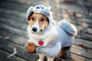 Free Dog In Funny Costume Picture for Android, iPhone and iPad