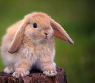Sweet Bunny - Obrázkek zdarma pro iPad 2