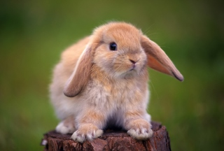 Sweet Bunny Wallpaper for Android, iPhone and iPad