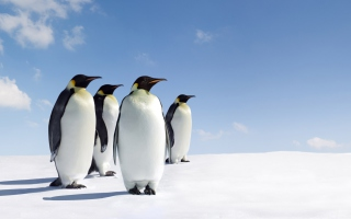 Antarctica Emperor Penguins Background for Android, iPhone and iPad