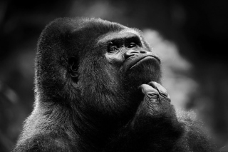 Thoughtful Gorilla - Obrázkek zdarma pro Widescreen Desktop PC 1920x1080 Full HD