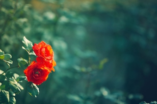 Wild Roses Background for Android, iPhone and iPad