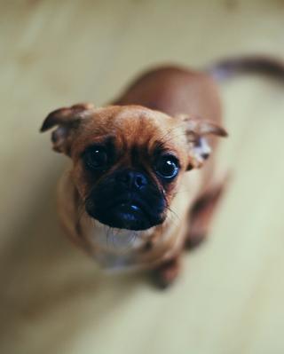 Baby Pug - Obrázkek zdarma pro iPhone 5S