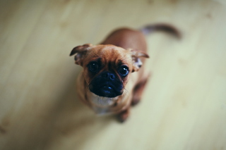 Baby Pug - Obrázkek zdarma pro 800x480