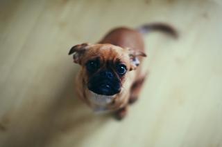 Baby Pug - Obrázkek zdarma pro Samsung Galaxy Note 3