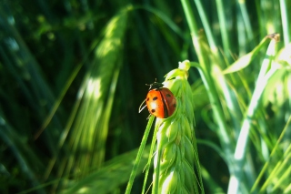 Ladybug On A Plant Background for Android, iPhone and iPad