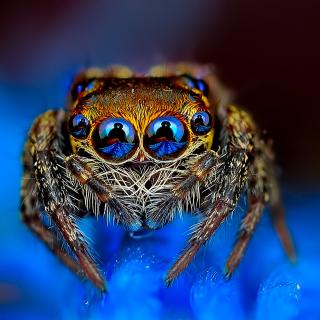 Bold Jumper Spider - Obrázkek zdarma pro 1024x1024