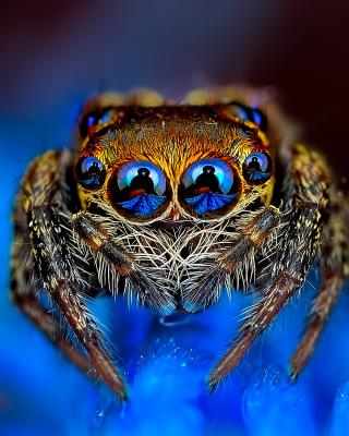 Bold Jumper Spider - Obrázkek zdarma pro 480x800