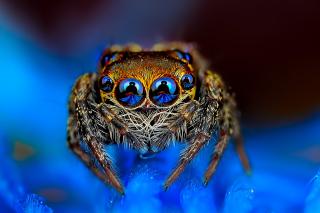 Bold Jumper Spider - Obrázkek zdarma pro 1080x960