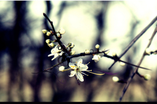 Spring White Blossom Background for Android, iPhone and iPad