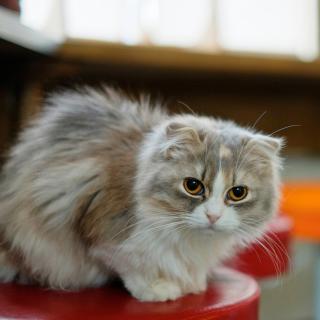 Siberian Fluffy Cat - Obrázkek zdarma pro iPad