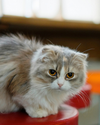 Siberian Fluffy Cat - Obrázkek zdarma pro Nokia C3-01 Gold Edition