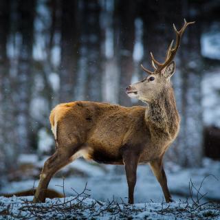 Deer in Siberia - Obrázkek zdarma pro iPad 3