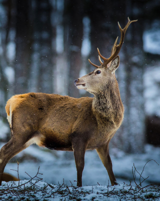 Deer in Siberia - Obrázkek zdarma pro iPhone 4S