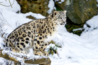 Snow Leopard Picture for Android, iPhone and iPad