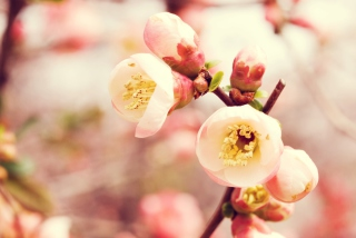 Tender Spring Blossom Background for Android, iPhone and iPad