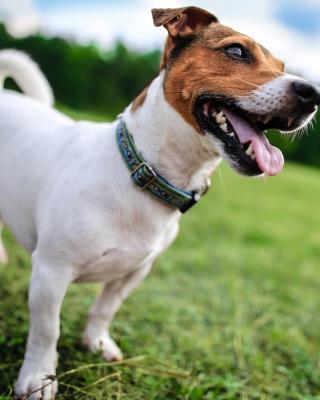 Jack Russell Terrier - Obrázkek zdarma pro 320x480