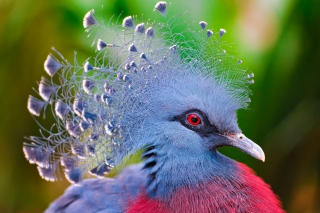 Free Victoria Crowned Pigeon Picture for Android, iPhone and iPad