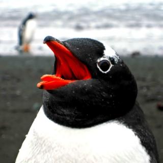 Penguin Close Up - Obrázkek zdarma pro 208x208