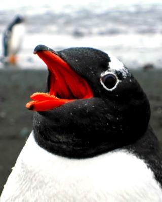 Penguin Close Up - Obrázkek zdarma pro Nokia X1-01