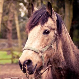Horse Portrait - Obrázkek zdarma pro 128x128