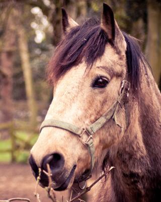 Horse Portrait - Obrázkek zdarma pro 320x480