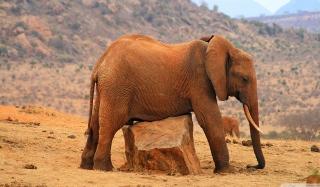 Elephant - Obrázkek zdarma pro Samsung Galaxy S II 4G