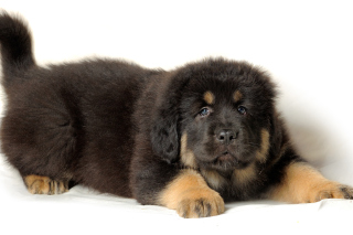 Tibetan Mastiff Puppy Background for Android, iPhone and iPad
