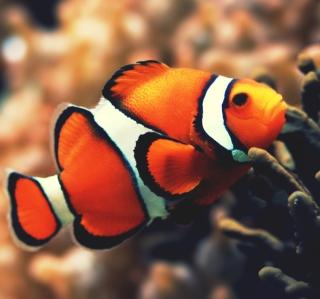 Nemo Fish - Obrázkek zdarma pro 128x128