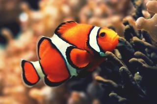Nemo Fish - Obrázkek zdarma pro Samsung Galaxy A3