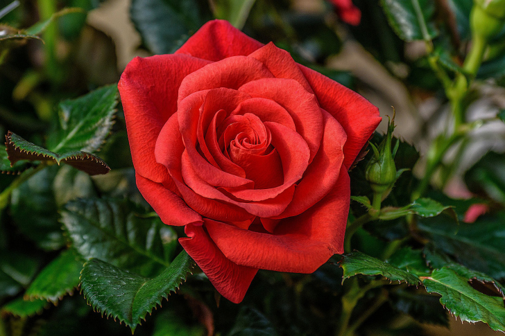 Lonely Red Rose wallpaper