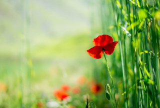 Red Poppy And Green Grass Wallpaper for Android, iPhone and iPad